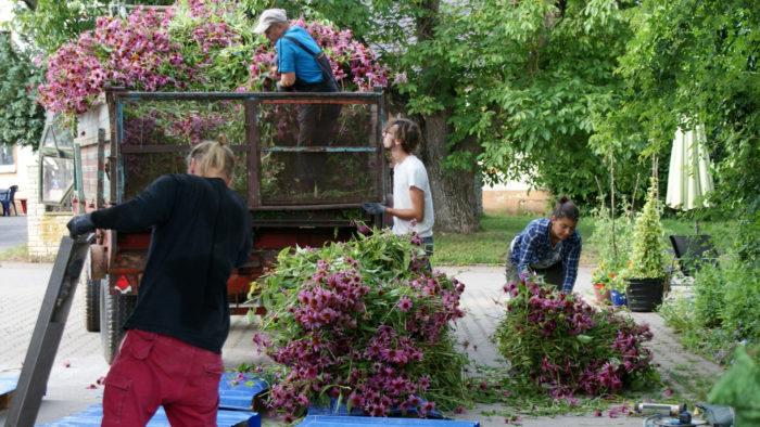 Récolte d'échinacées bio à la ferme, Heilsbronn, été 2020. © Estelle Léoni.